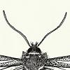 Entomological Illustration