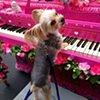 Beautiful Music (Dog Playing)