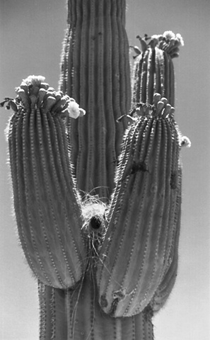 Saguaro Flowers with Bird Nest