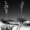 Yucca Pair