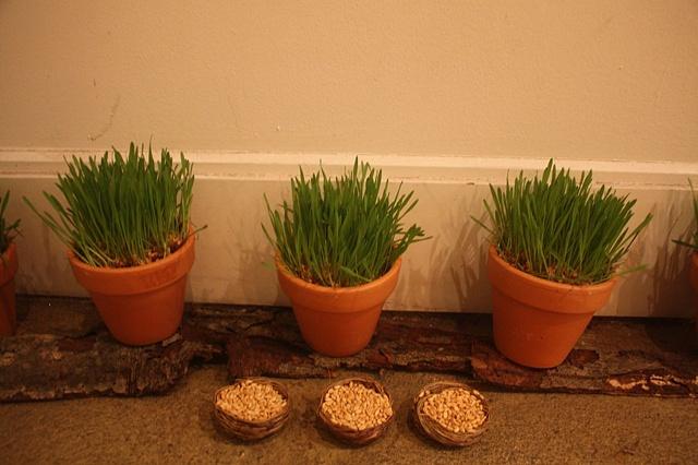 haft sin, sabzeh, wheatgrass