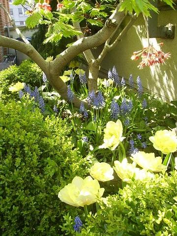 Tribeca muscari and double yellow tulips