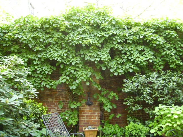 Climbing Hydrangea in Greenwich Village