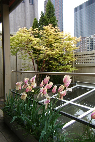 Spring tulips and maple tree on a downtown Manhattan rooftop.