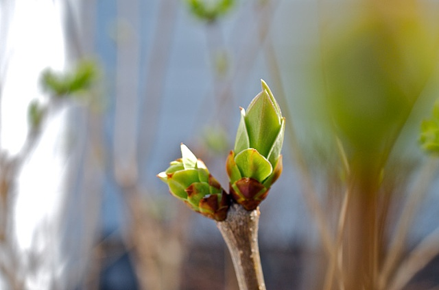 Budding lilac bush in early Spring