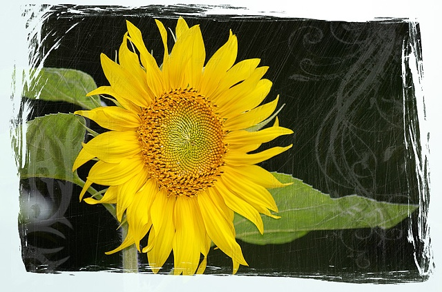 Artsy composite of single sunflower