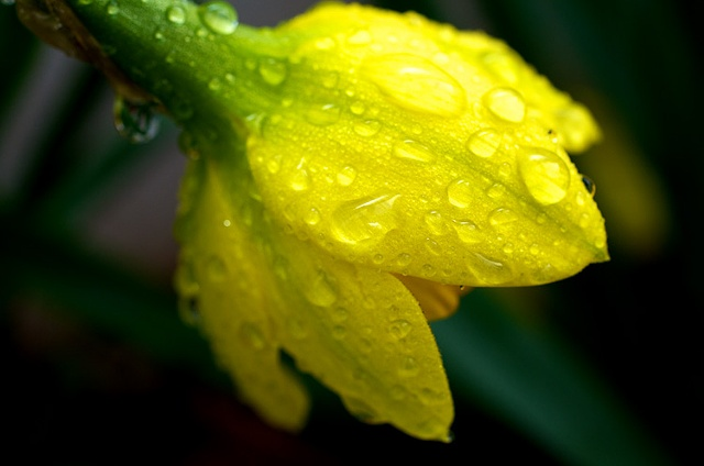 Blooming tulip bud in Spring rain