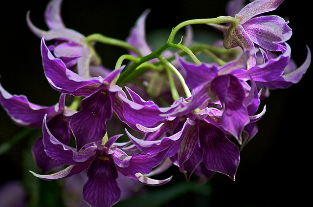 Purple Orchids at Longwood Gardens, PA