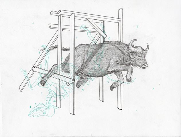 Water Buffalo Alex Schechter, 2015