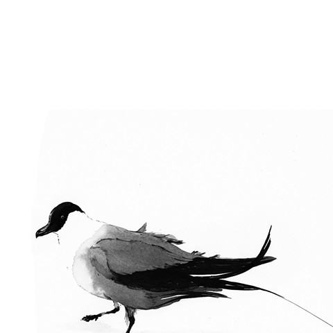 King of Birds - Long-tailed Jaeger