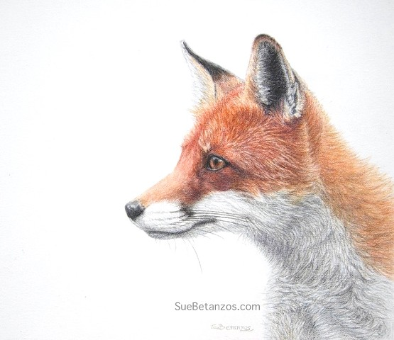 Colored Pencil animal, Wildlife painting, Sue Betanzos, red fox painting, red fox, wildlife painting, Sara Pennypacker, colored pencil fox, SueBetanzos, polychromos