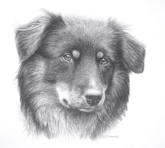 dogs, dog portrait, pet portrait, australian shepherd portrait, animal portrait, suebetanzos animal art, dog breeds