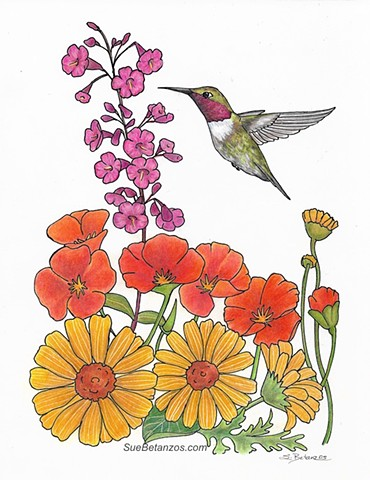 Hummingbird painting Anna's Poppies, Sue Betanzos Art, Christmas gift, holiday gift, Christmas art, Anna Hummingbird, Hummingbirds, garden birds, poppies, colored pencil, drawing, sue betanzos, bird art, hummingbirds, hummingbird art, birds, wildlife art,