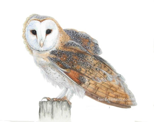 animal art, owl art, barn owl art, barn owl painting, bird art, colored pencil owl, colored pencil bird, colored pencil barn owl, suebetanzos, suebetanzos animal artist