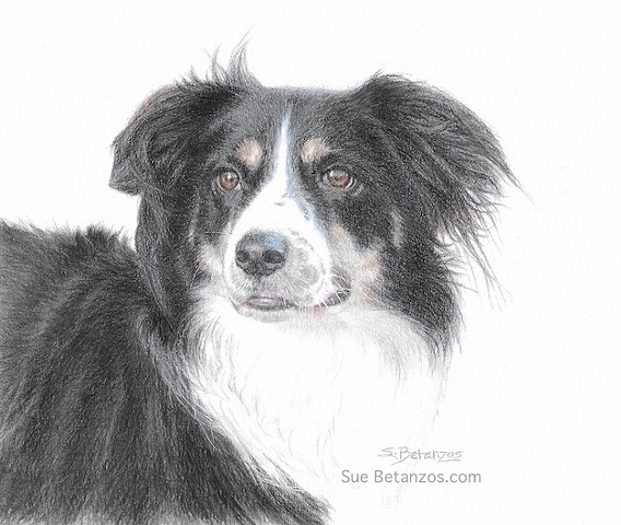 Border Collie, Australian Shepherd, pet portrait, dog portrait, Colored Pencil, dog rescue, Sue Betanzos, custom art, home decor, shelter pet animal drawing, Sue Betanzos, pet art, pet artist