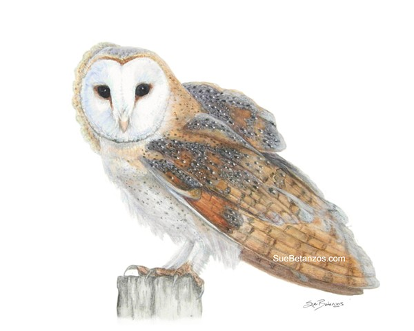 Barn Owl, colored pencil, barn owl, barn owl art, animal art, raptor art, colored pencil, suebetanzos design, animal artist, owl art