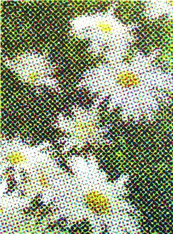Leucanthemum superbumm (Shasta daisy)