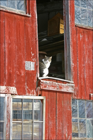 Curious Barn Cat ~ Shelburne, Massachusetts