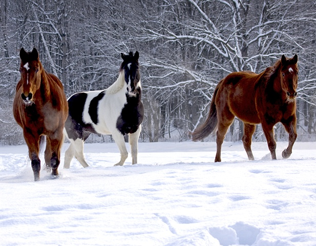 Horses in the Snow ~ Deerfield, Massachusetts