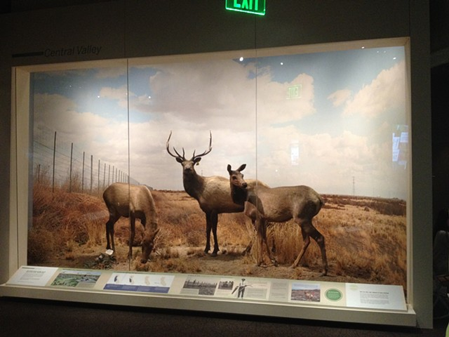 completed exhibit Tule Elk exhibit and permanent case construction,  Oakland Museum of California, Oakland CA Natural History dept.