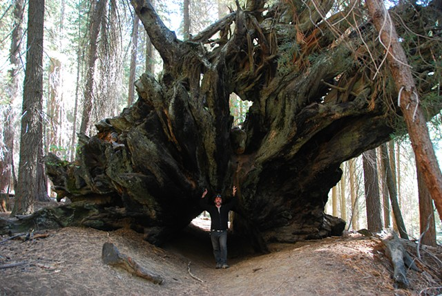 stump of a giant, ancient fallen redwood tree, California