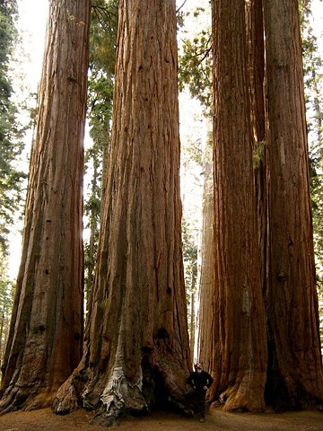 the worlds largest trees Sequoia National Park, CA