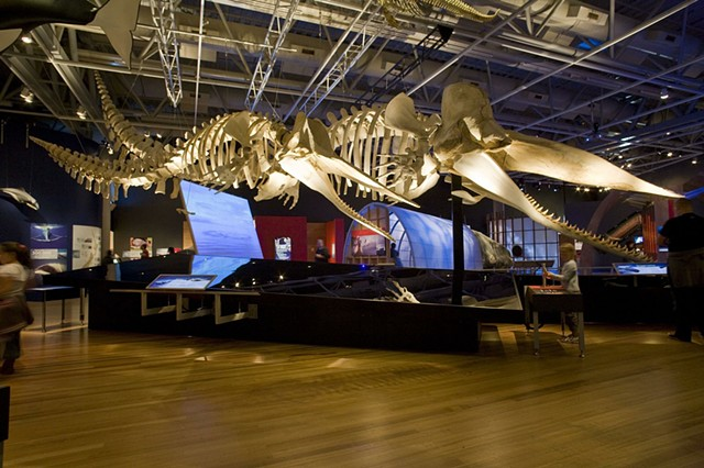 lead installer, 'Whales Giants of the Deep' by Te Papa Museum of New Zealand touring exhibits (I toured with this exhibit to three US cities) (photo c/o Te Papa Museum website)