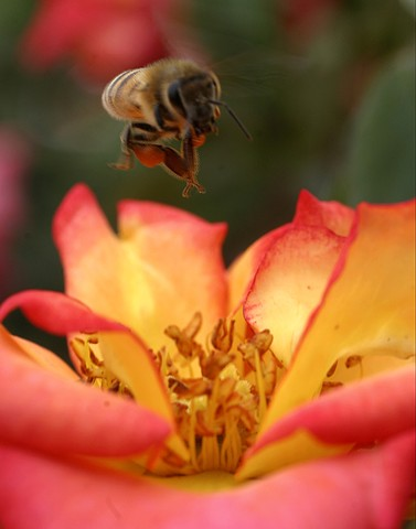 nature, bumble bee, bee, rose, save the bees, nature photography,