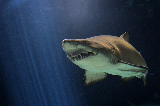 Shark, aquarium, nurse shark, underwater photography, photographic prints,