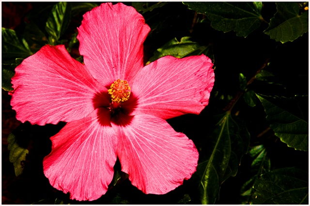 Flower, flowers, hibicus, new orleans, flower photography, Crystal Shelton Photgraphy, Crystal Shelton, Pink Flower, Pink