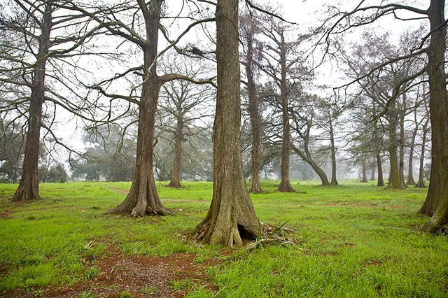 Louisiana, cypress trees, grove of trees, nature photography, landscape. new Orleans