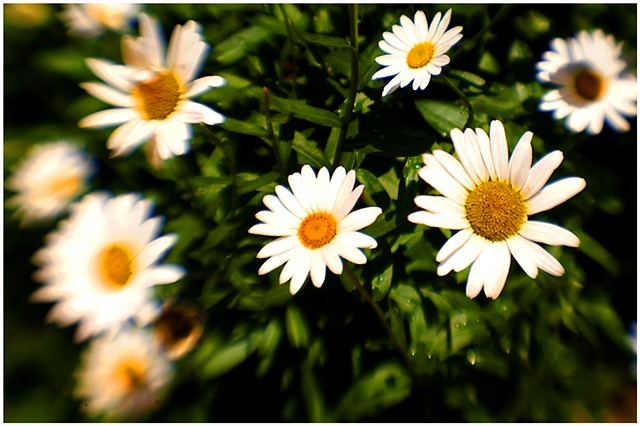 daisies, botanical garden, crystal shelton, flowers, new orleans,