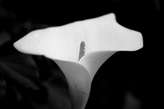 lily, Calla Lilly, Black and white photography, nature photography, flower, flowers, flower photography