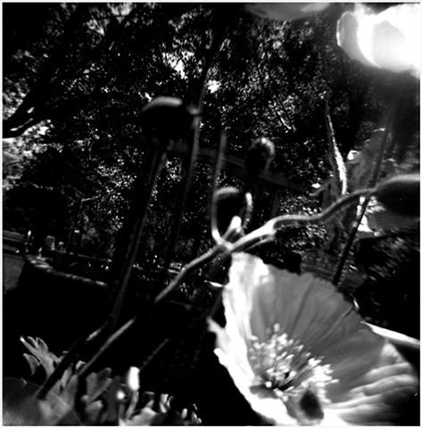 poppy. poppies, botanical garden, lomography, crystal shelton