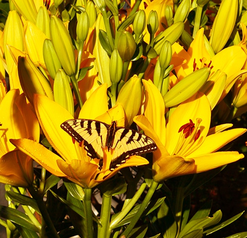 butterfly, art margaux, lilies, maggie wolszczan, nature photography