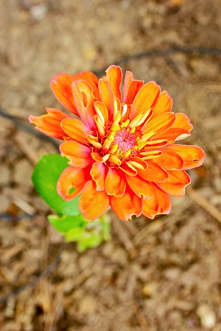orange zinnia flower, art margaux, maggie wolszczan, nature photography