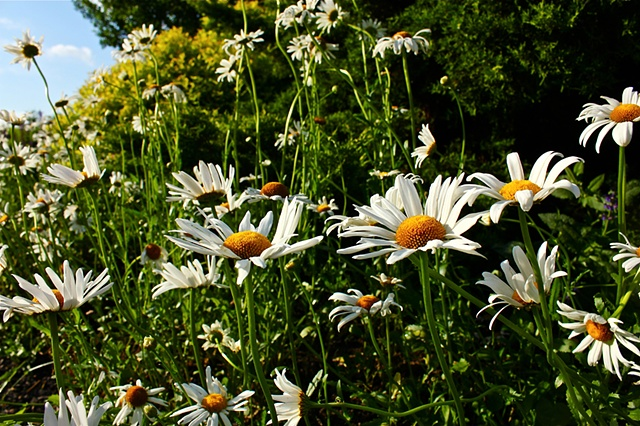 daisies, flowers, nature photography, maggie wolszczan, art margaux