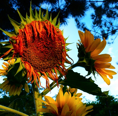 art margaux, maggie wolszczan, garden sunflower, state college, Polish artist, photography, van gogh, nature