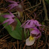 Fairy Slipper Orchids in Wyoming