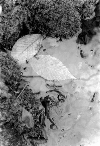 photography black and white print leaf leafs water ripples moss nature winter pond stream frost ice
