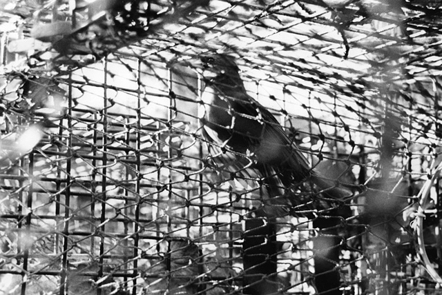 photography black white battery steel fort abandoned industrial cardinal trapped bird rescue lobster cage