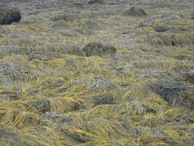 Photo of seaweed in Maine