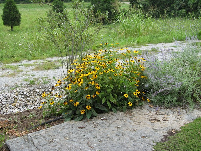 Black eye susans in the front