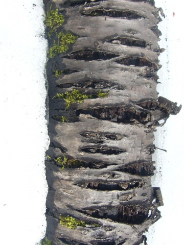 photograph of the birch tree in the snow