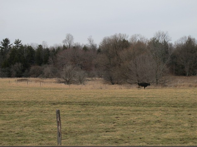 Lonely Cow, Fall Creek Road Freeville, NY