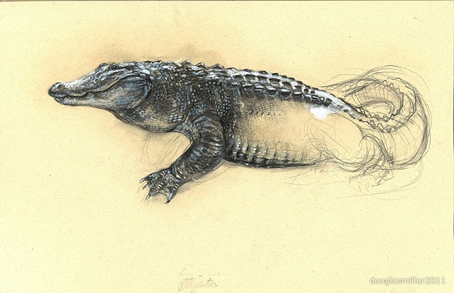 Alligator Jason Noble contemporary drawing