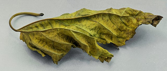 Macro focus stacked,panorama of dead leaf. A very detailed nature study.