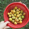 Picking ume (plums) straight from the tree, learning how to make ume-shu, a plum wine today.