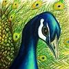 """Peacock"""