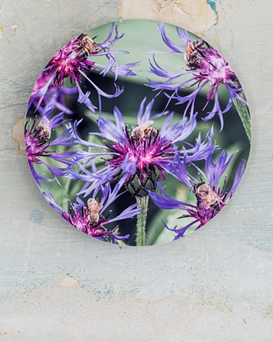 bees spotted knapweed flower pollination art by muffin